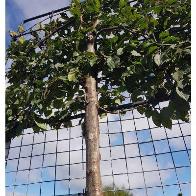 Carpinus betulus Pyramidalis-Hornbeam, Pleached, half standard form