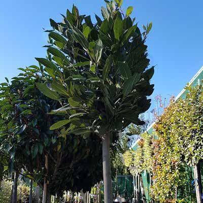 Laurus nobilis-Bay Tree, Bay, Half Standard Form