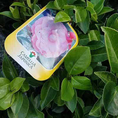 Camellia japonica Mrs Tingley-Japanese Camellia