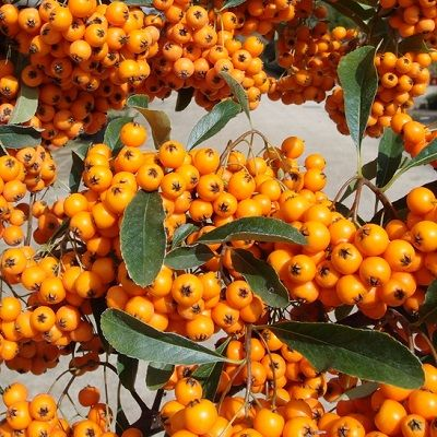 Pyracantha Orange-Firethorn