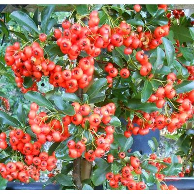 Pyracantha Red-Firethorn