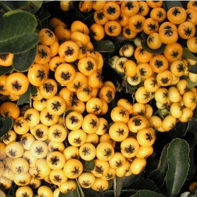 Pyracantha Yellow-Firethorn