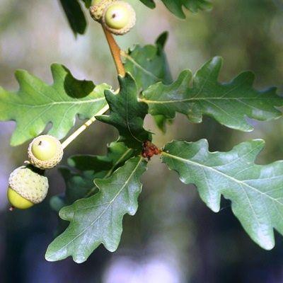 Quercus robur-Common Oak