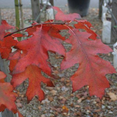 Quercus rubra-Red Oak