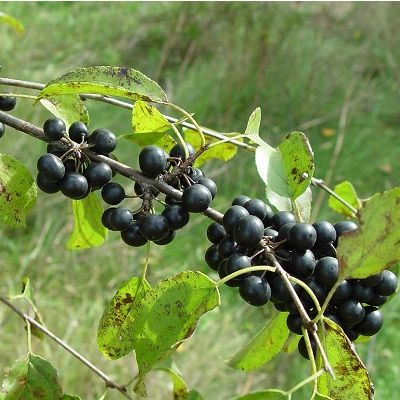 Rhamnus cathartica-Common Buckthorn