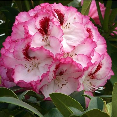 Rhododendron Cherry Cheesecake-Hybrid Rhododendron