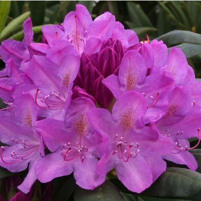 Rhododendron Roseum Elegans-Hybrid Rhododendron