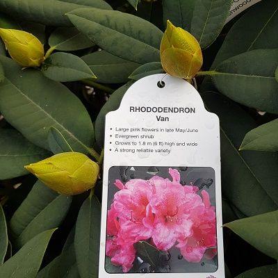 Rhododendron Van-Hybrid Rhododendron