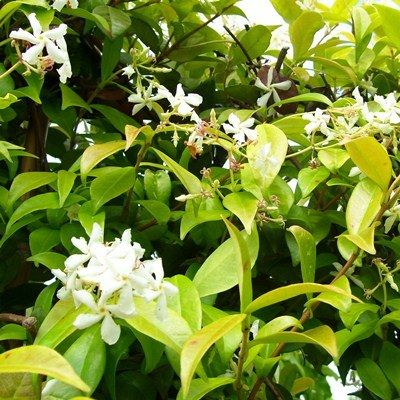 Trachelospermum jasminoides-Jasmine