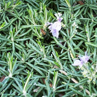 Rosmarinus prostratus-Rosemary prostrate