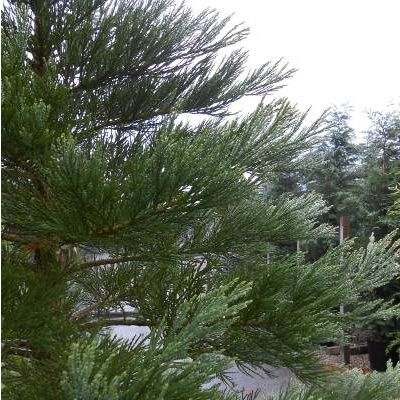 Sequioadendron giganteum-Giant Redwood