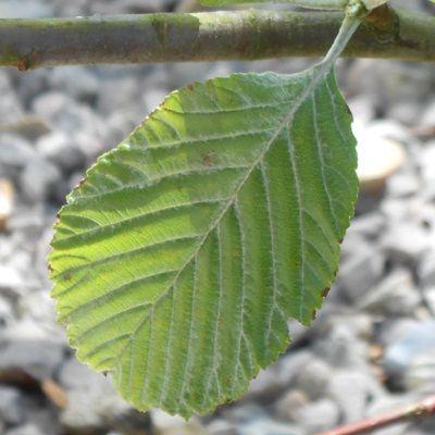 Sorbus aria Magnifica-Whitebeam