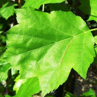 Sorbus torminalis-Wild Service Tree