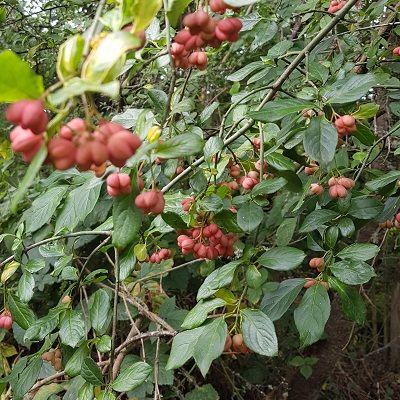 Wildlife friendly pre packed hedge mix-Bundle of 25 Bareroot Plants