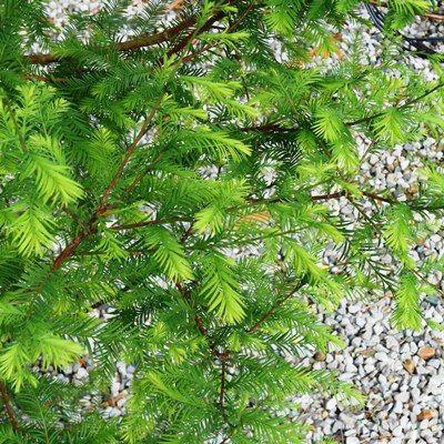 Taxodium distichum-Swamp Cypress