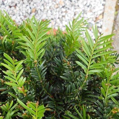 Taxus baccata-English Yew