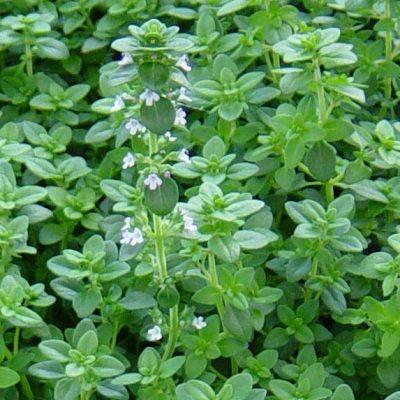 Thymus in variety-Thyme