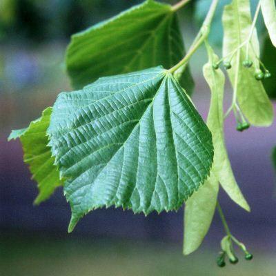 Tilia cordata-Small Leaved Lime