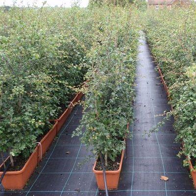 Crataegus monogyna Instant Hedge-Hawthorn