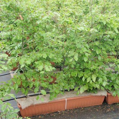 Fagus sylvatica-Instant Hedge Beech