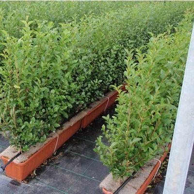 Ligustrum ovalifolium- Instant Hedge Oval leaf privet