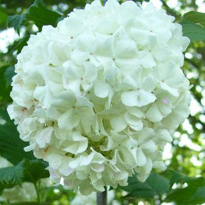Viburnum opulus Roseum-Snowball Bush