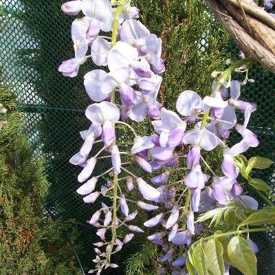 Wisteria floribunda-Mauve