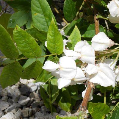 Wisteria floribunda-White