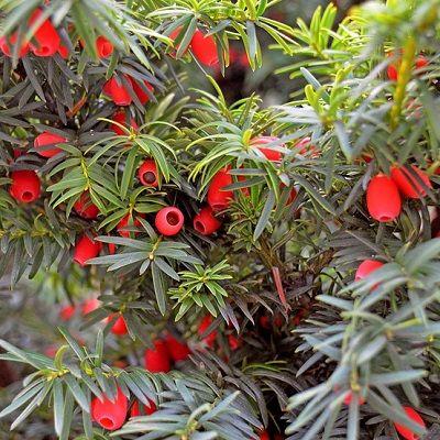 Taxus baccata-English Yew, Evergreen Shrub Form